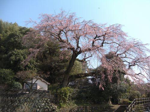 大原大しだれ桜2014.3.21-2