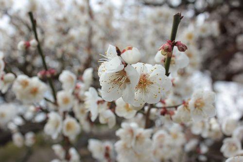 観音桜2014.3.4