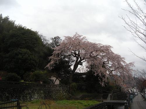 大原大しだれ桜12014.3.29