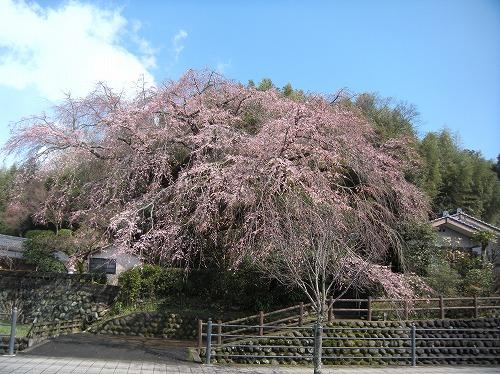 大原大しだれ桜2014.3.21