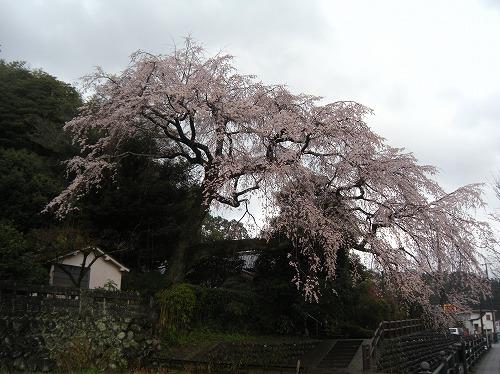 大原大しだれ桜12014.3.26