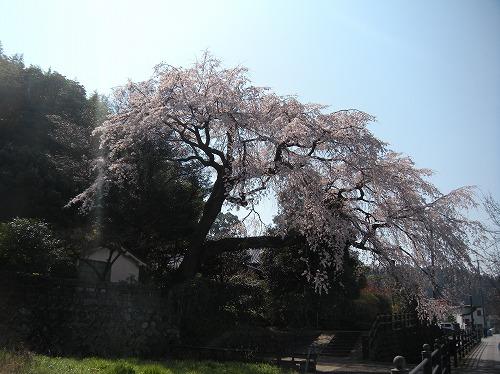 大原大しだれ桜22014.3.28