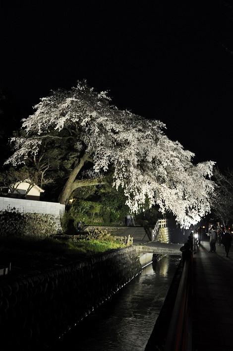 大原大しだれ桜2015.3.31