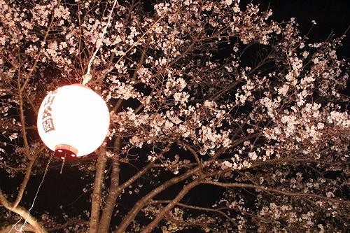 提灯でピンクに染められた夜桜