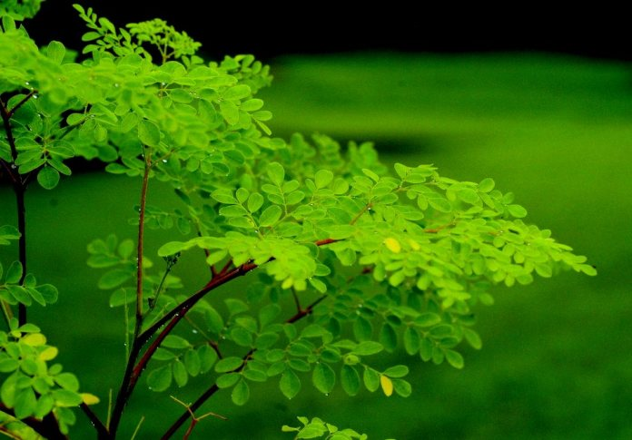 Moringa Oleifera - Official ADAPT 2030 Website Keeping Your ...