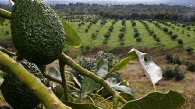 Imagen: Cultivo de aguacate en Michoacán, México, 23 de octubre de 2019 (Imagen: Especial)