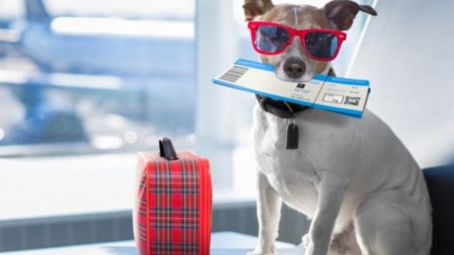19 de diciembre de 2019, dinero, viaje, vacaciones, un perro con su pase de abordar en un avión (Imagen: Especial)