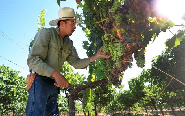 Agrícolas mexicanos, Trabajador, Persona, Uvas, Campo, Agrícultura