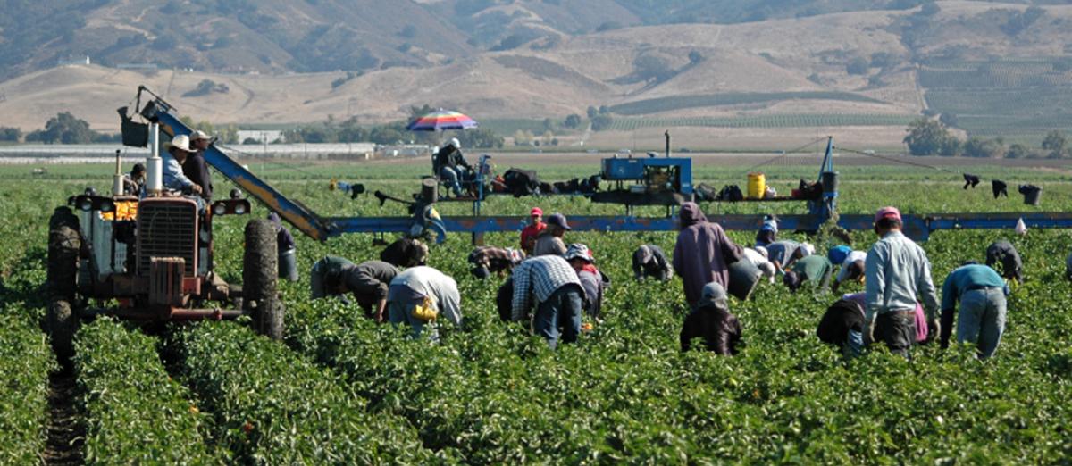 Trabajo agrícola, Campo, Agrícultura, Trabajadores, Mexicanos, Agrícolas mexicanos