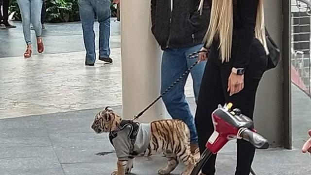 Tigre de Bengala en Plaza Antara, Polanco (Imagen: Twitter @LetyVarela)