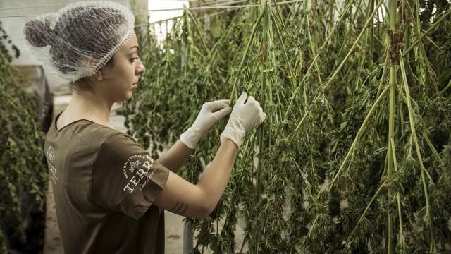 Marihuana legal pagaría impuestos en México: SHCP