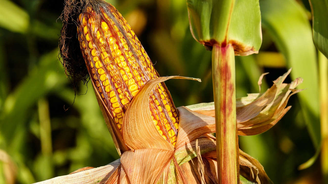 Por sequías y alta demanda, precio del maíz crece 112%