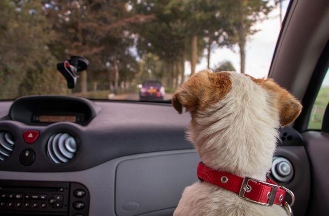 Evita sanciones por viajar en auto con tu perro