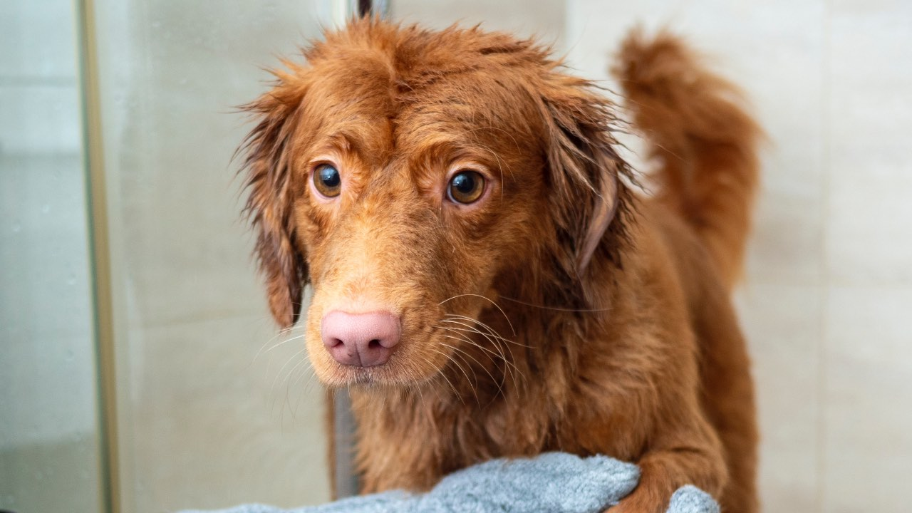 consejos para bañar a tu perro