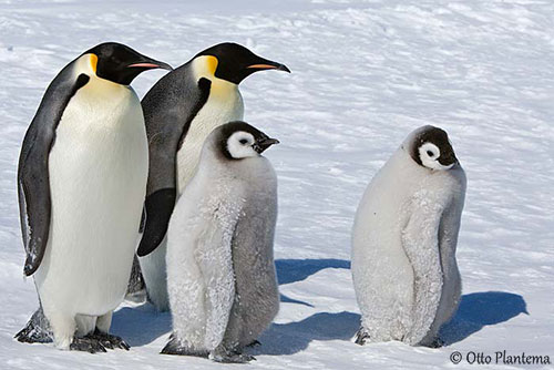 Pink Feathers Falling Wallpaper Emperor Penguin