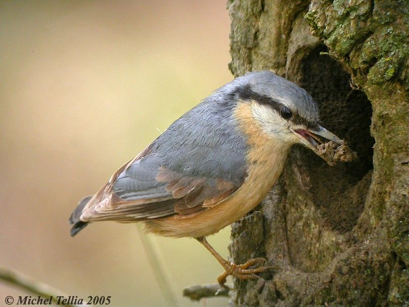 Image result for eurasian nuthatch