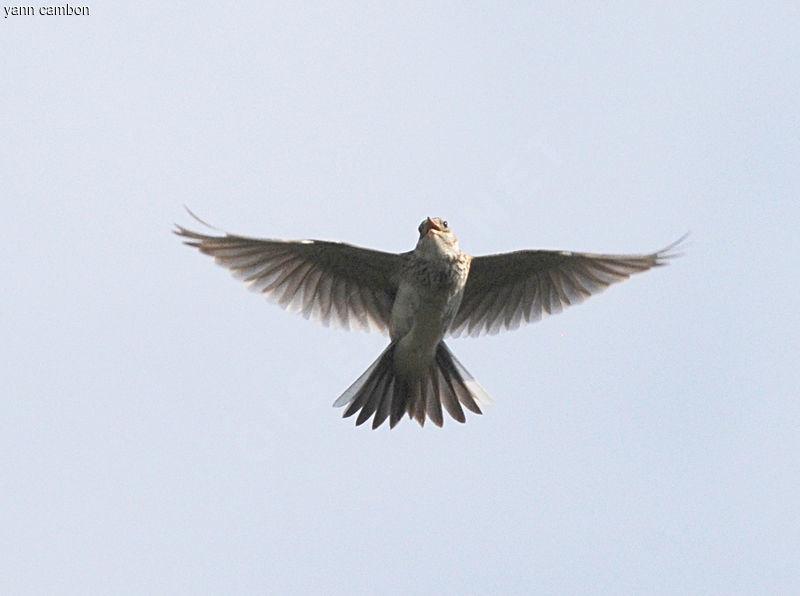"""Résultat de recherche d'images pour """"alouette des champs en vol"""""""