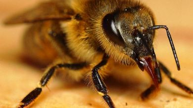 Photo of Instituto desenvolve remédio inédito contra veneno de abelha; confira