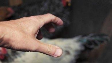 Photo of Juazeiro do Norte-CE: Furto de galinhas mobilizou a Guarda Civil Metropolitana ; aves e suspeito foram parar na delegacia