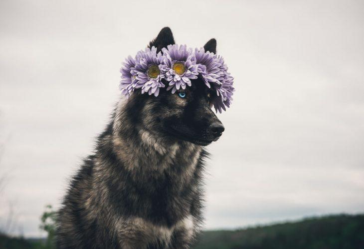 Perrito huskie usando una corona de flores en la cabeza mientras posa para una foto