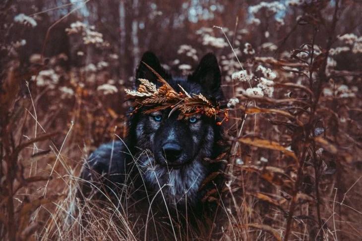 Perrito huskie asomándose entre los matorrales