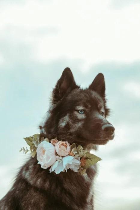 Perrito huskie con un collar de rosas rosas y naranjas posando para una foto