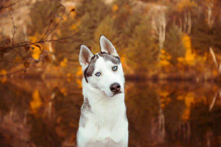 Perrito huskie de color blanco inclinando la cabeza mientras está en un lago