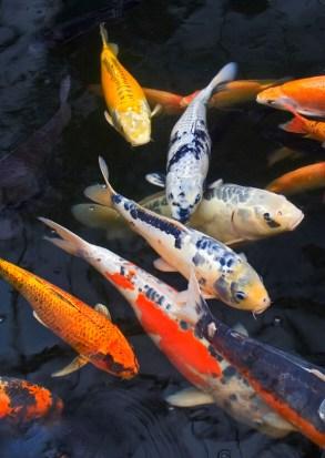 Koi fish aquarium