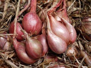 jual bibit bawang merah