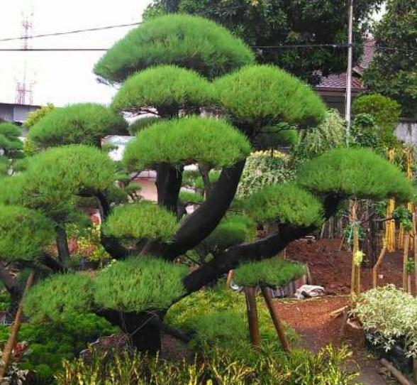 jual pohon cemara Ambon