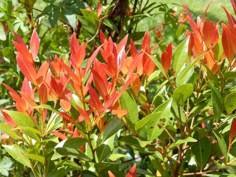 jual pohon pucuk merah Sungaipenuh