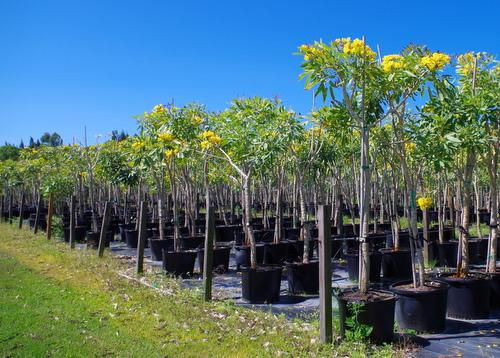 jual pohon tabebuya di soppeng