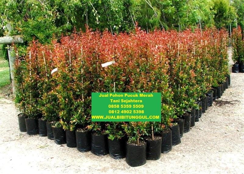 jual pohon pucuk merah di penajam