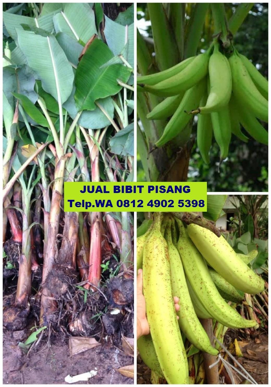 jual bibit pisang di bulungan