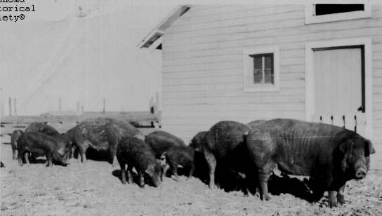 Hog Industry  The Encyclopedia of Oklahoma History and