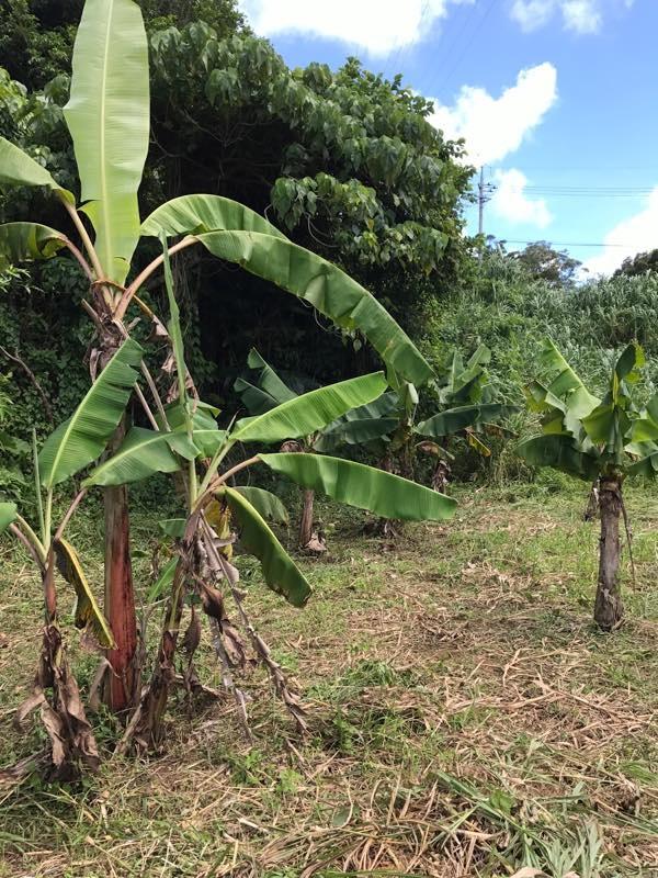 バナナ 沖縄週末農業