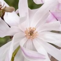 Magnolije - čudovito starodavno drevo