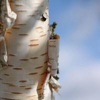 Breza - bledikavo živahno drevo