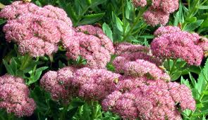 hermelika - okusni vrt