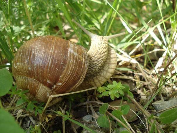Rastline odporne na polže