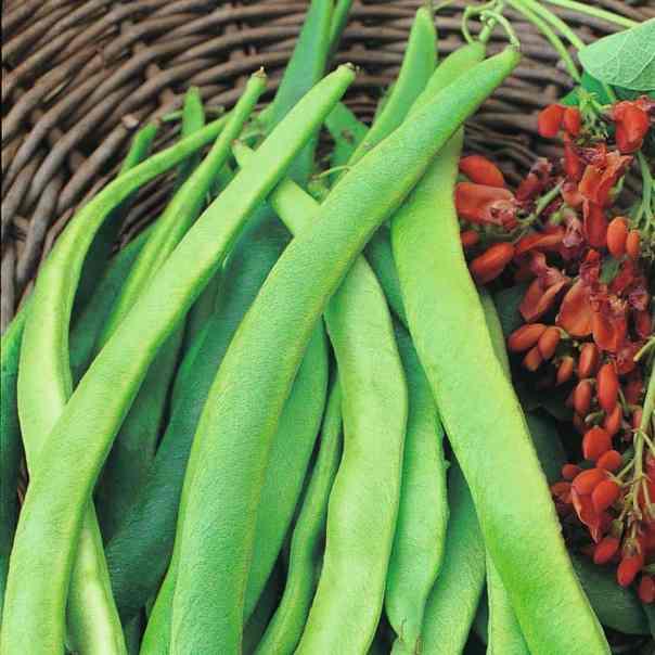 Okusna vzpenjavka – visoki fižol