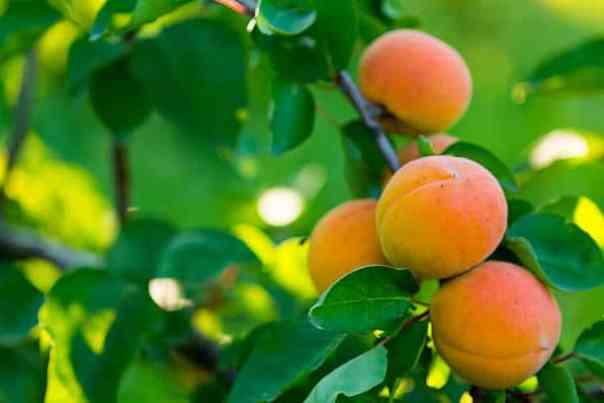 Marelica – sladki živahni plodovi polni vitaminov