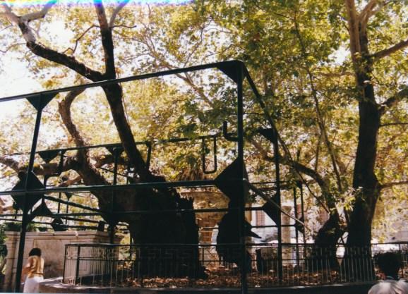 Kos, l'arbre d'Hippocrate