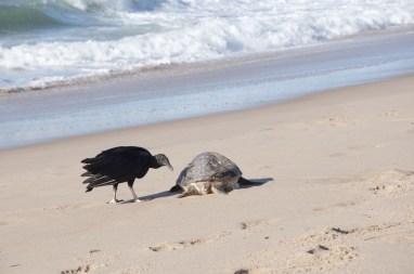 plage des flamands Pauvre tortue