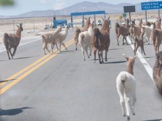 Les lamas passent au péage ?