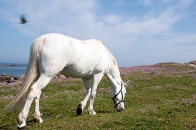 Ile de Batz chevaux