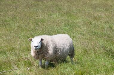 Ouessant, mouton blanc