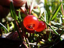 Rypebær
