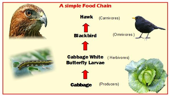 Simple Food Chain