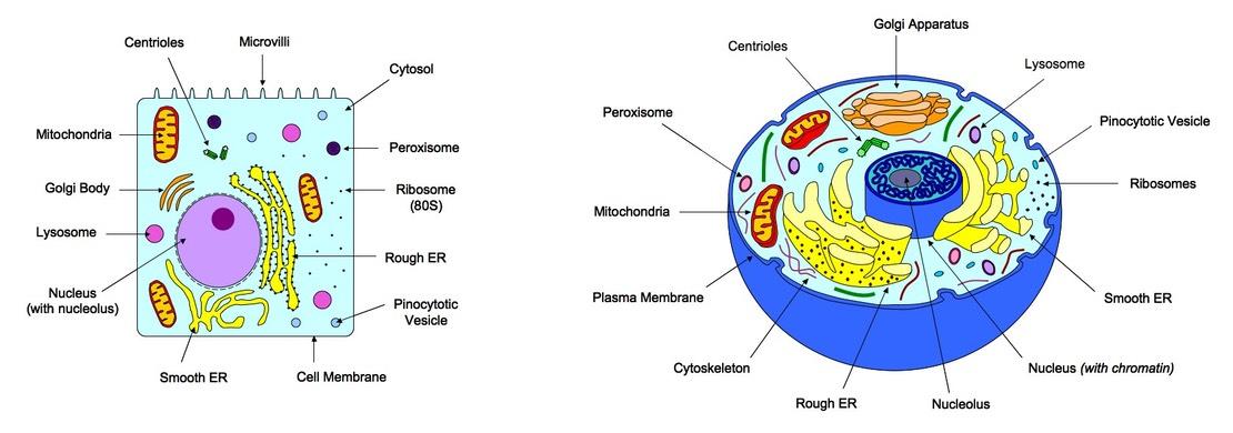 plant cell diagram animal simple drawing braun millenium 2 wheelchair lift wiring 3 eukaryotic cells bioninja